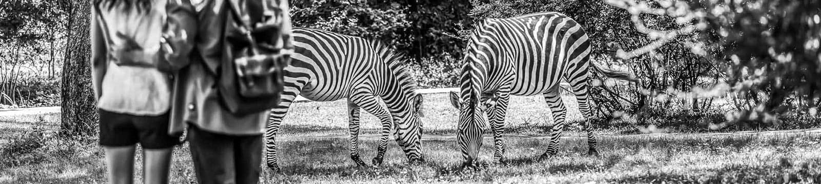 A greyscale image of a couple watching two zebras