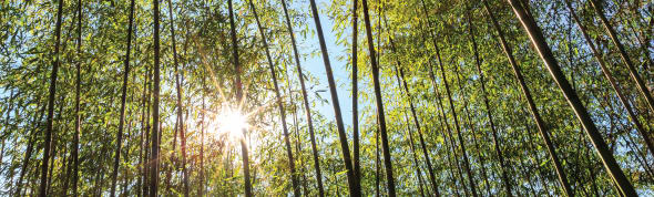 Sun shining through a bamboo forest