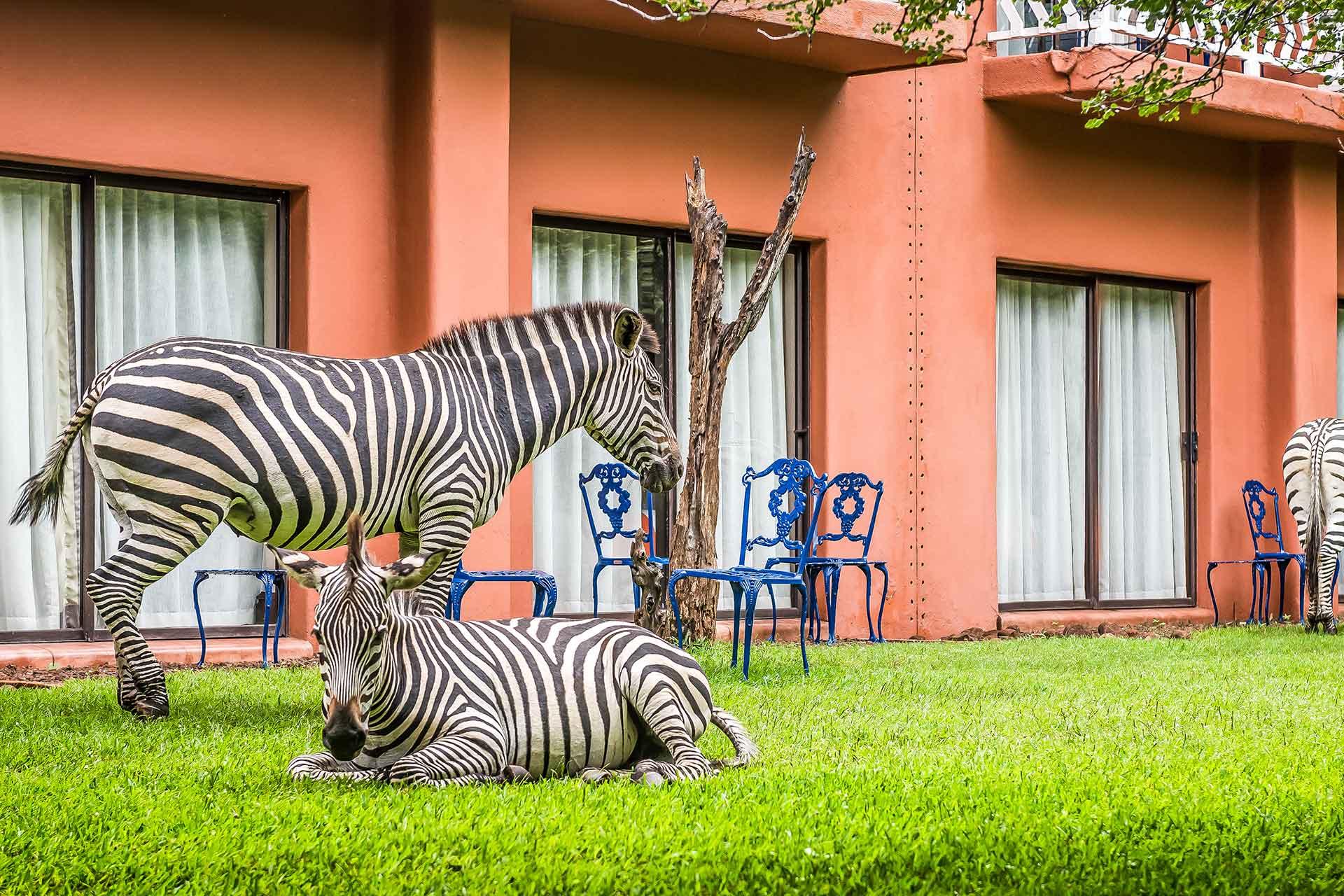 Zebras at AVANI Victoria Falls Zambezi Hotel
